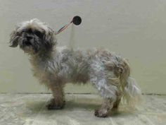 SUPER URGENT 01/02/15 Brooklyn Center   GRAND - A1024516   MALE, TAN / WHITE, SHIH TZU, 8 yrs STRAY - STRAY WAIT, NO HOLD Reason STRAY  Intake condition EXAM REQ Intake Date 01/02/2015, From NY 11238, DueOut Date 01/05/2020,