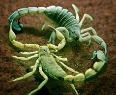 A pair of yellow fat tail scorpion mating under Ultra-violet light. Habitat: They are found throughout the arid and semi-arid regions of the Middle East and Africa.