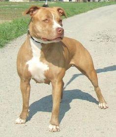Red+Nose+Pitbulls | Cuccioli Pitbull red nose - Animali In vendita a Trapani ... - See It  #trapani