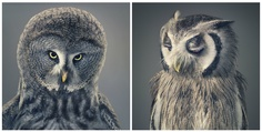Owls shots by Tim Flach