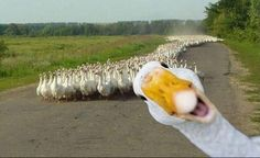 "At first, it's funny; then I think,""wow that's a LOT of geese coming down the road"", and than it's kinda creepy."