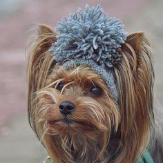 Eliminate Over 30+ Common Behavioral Yorkshire Terrier Issues - yorkshire Terrier #yorkshireterrier