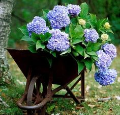 The Original was the first in the Endless Summer collection of hydrangeas to be developed. The Original Endless Summer is a perpetual flowering big-leaf Hydrangea Wheelbarrow Planter, Summer Hydrangeas, Planting Flowers, Plants, Garden Shrubs, Endless Summer Hydrangea, Big Leaf Hydrangea, Beautiful Gardens, Blue Garden