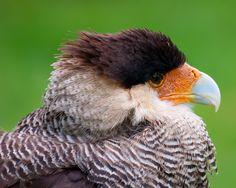 Bird of prey...
