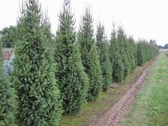 Columnar Norway Spruce. Fast growing. Bears heavy snow better than arborvitae. 10 ft wide at full maturity. 30-40 ft. tall.