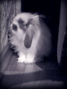 Sweet bunny LOVES those sun rays. Rabbit Pictures, Animal Pictures, Cute Pictures, Mini Lop Bunnies, Cute Bunny, Bunny Rabbits, Cutest Bunny Ever, Beautiful Rabbit, Some Bunny Loves You