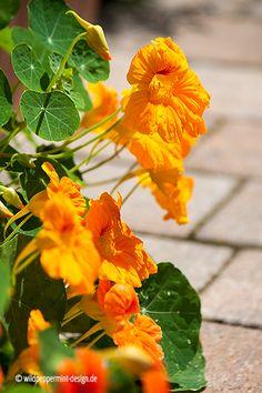 Kapuzinerkresse-golden, goldgelbe kapuzinerkresse, arzneipflanze 2013, einjährige Balkonpflanze gesund und lecker, wildeschoenheiten.wordpress.com