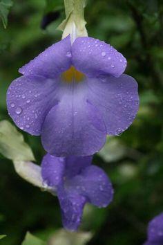 Deze paarse bloem is ook familie van Suzanne met de mooie ogen. De familie heet Thunbergia.