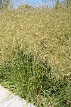 Deschampsia cespitosa - Ruwe smele   Tuinen van Appeltern combi met kattekruid