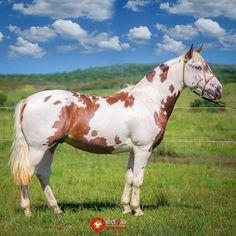 Pony Breeds, Horse Breeds, Cute Horses, Pretty Horses, American Paint Horse, Types Of Horses, Most Beautiful Horses, Appaloosa Horses, Horse World