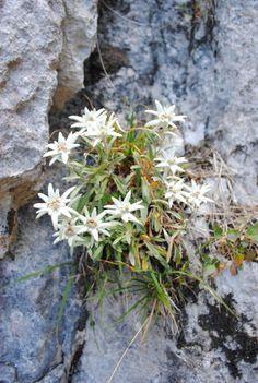 Floare de colt, Piatra Craiului, Romania, www.romaniasfriends.com