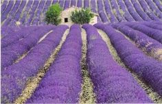 Learn all about Lavender here http://hendycurzon.co.uk/content/news?page=6
