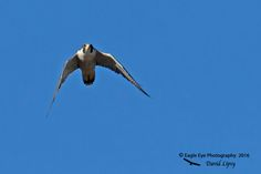 1007aPS Peregrine Falcon above Post Office Fields - Concord, NH 11-08-16