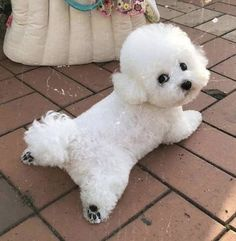 Teddy Bear Poodle, Cute Puppies, Cute Dogs, Dog In Spanish, Bichon Dog, Dog Grooming Styles, Pet Spa, Cute Dog Pictures, Baby Dogs