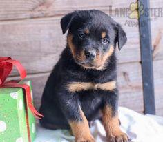 #Rottweiler #Charming #PinterestPuppies #PuppiesOfPinterest #Puppy #Puppies #Pups #Pup #Funloving #Sweet #PuppyLove #Cute #Cuddly #Adorable #ForTheLoveOfADog #MansBestFriend #Animals #Dog #Pet #Pets #ChildrenFriendly #PuppyandChildren #ChildandPuppy #LancasterPuppies www.LancasterPuppies.com Rottweiler Puppies For Sale, Dogs And Puppies, Lancaster Puppies, Yorkshire Terrier Puppies, Animals Dog, Puppy Breeds, New Puppy, Mans Best Friend, Labrador Retriever