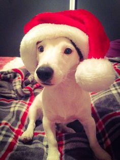 Chien - Jack Russell Terrier - Harlay on www.yummypets.com Dogs, puppy, pooch, animals, pets, yummy pets, wouaf, Christmas