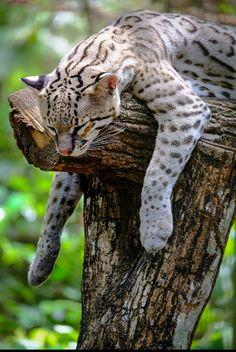 Ocelot (Leopardus Pardalis) most populous in Central America, largest member of the genus Leopardus