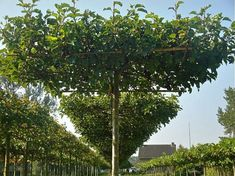 mulberry trees roof pruned, edible and functional creating shade and add design feature to garden