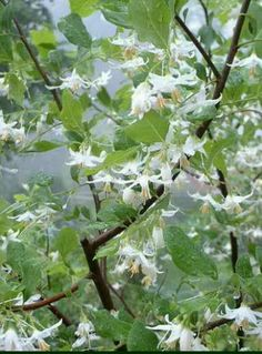American snowbell (Styrax americanus). Small tree, plant in moist areas, partial to full shade. Birds eat the fruit, attracts pollinators.