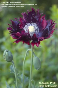 Full size picture of Opium Poppy, Breadseed Poppy, Lettuce Leaf Poppy (Laciniatum Group) 'Drama Queen' (Papaver somniferum)