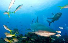 Tauchen Malaysia - Achtung #Haie! Riffhaie #sharks