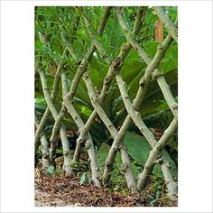 Willow Fencing Pic