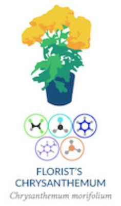 Chrisanthemum morifolium