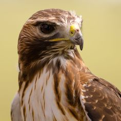 Red-Tailed Hawk by Sam Charters / 500px