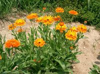 Calendula (Calendula officinalis) is a medicinal flower that has several health benefits. Taken internally as a tea, tincture, or extract, calendula is highly beneficial and soothing for ulcers, in… Calendula, Permaculture, Organic Vegetable Garden, Drought Tolerant, Edible Wild Plants, Garden, Plants, Herbs, Organic Gardening