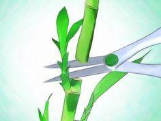 El bambú de la suerte es una planta de interior fácil de cuidar.