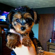Meet our newest member of our family Molly. She is a #yorkiepoo #dogs #cute