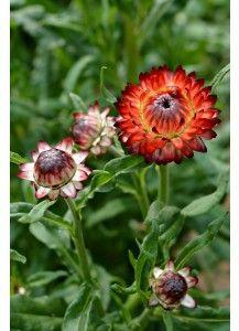 Monstrosum Fireball Strawflower