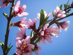Elberta Peach Tree Peach Trees, Peach Blossoms, Trees Online, Garden, Plants, Garten, Lawn And Garden, Gardens, Plant