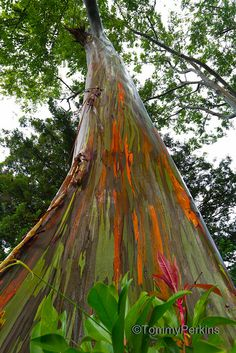 Drive The Road To Hana and you'll see these rainbow Eucalyptus Trees. Rainbow Eucalyptus Tree, Giant Tree, Unique Trees, Colorful Plants, Tropical Vibes, Tree Art, Science And Nature, Nature Pictures, Gardens