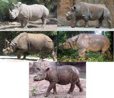 Las cinco especies de rinoceronte modernas. De izquierda a derecha y de arriba a abajo: Ceratotherium simum (el rinoceronte blanco), Diceros bicornis (el rinoceronte negro), Rhinoceros unicornis (el rinoceronte indio), Rhinoceros sondaicus (el rinoceronte de Java) y Dicerorhinus sumatrensis (el rinoceronte de Sumatra).