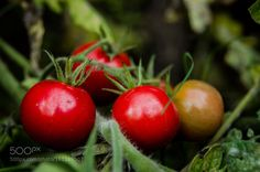 Cherry tomatoes. by RoyJara #food #yummy #foodie #delicious #photooftheday #amazing #picoftheday