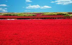 Increíble paisaje (Río Liao en Panjin - China).    La tonalidad roja se debe a una especie local de sargadilla marina.
