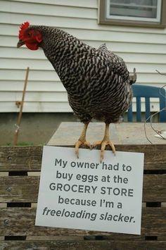 Chicken Shamming ;-0 - Keeping Chickens At Home ->  http://www.chickenkeepingsecrets.com
