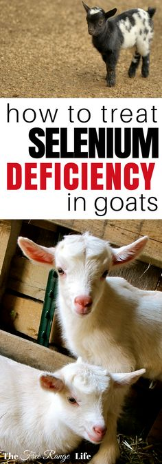 Raising Goats | Goat Health | Selenium Deficiency  Selenium deficiency in goats can cause reproductive issues and weak kids. Learn how to identify and treat this deficiency in your herd!