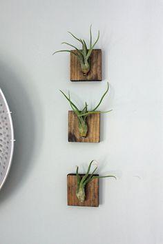 Mounted Air Plants // Medusa's Head // Living Art // Uniqe Wall Decor // Set of Three