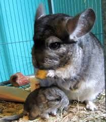 If left on its own, a Chinchilla will gnaw electrical cords and furniture which can either hurt them seriously or even kill them. URL: http://chinchilla.co/ FB fan page: https://www.facebook.com/chinchilla.co