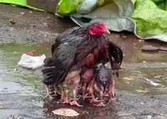Hen summarizes motherhood by drenching her to protect her precious chicks - Best Adorable Animals Funny Animal Videos, Cute Funny Animals, Cute Baby Animals, Animals And Pets, Animals And Their Babies, Mother And Baby Animals, Baby Animal Videos, Beautiful Birds, Animals Beautiful