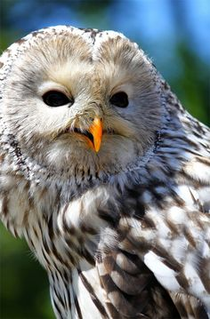 Ural Owl By: Evey-Eyes    http://naldzgraphics.net/photography/owl-pictures/