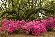Avery Island Jungle Gardens-renee@home plant azalea under large Khula trees and in fern garden