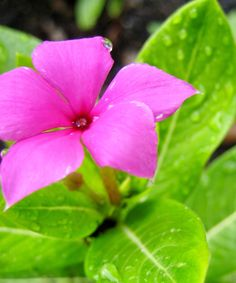 Discovering His Creation: Periwinkles, Vinca (Catharanthus roseus)
