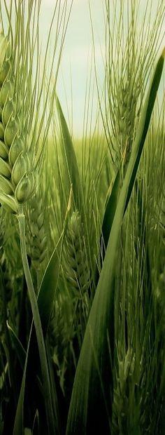 **wheat