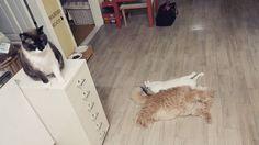 #고양이#냥#네코#냥스타그램 #고양이라서다행이야 #사지마세요입양하세요 #猫#猫ばか #親ばか #にゃん#にゃんすたグラム #ねこすた #nekos #neko #nyancat #nekostagram #cat#cats #catsofinstagram by neko_gh_yoo http://www.australiaunwrapped.com/