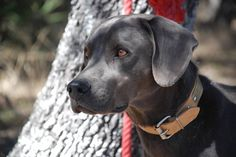 Oneday i want one of these dogs! Just gorgeous :) Texas Blue Lacy #Dog #Puppy