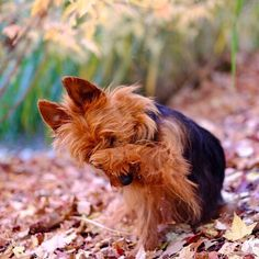 Australian Terriers are known to be spirited, courageous, and affectionate. But here are 10 things only their owners would understand.