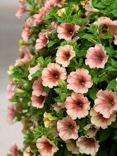 Suncatcher Vintage Rose Trailing Petunia - Annual